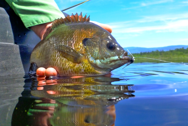 Fly fishing report june 2017 the confluence fly shop for Opening day fishing 2017 washington